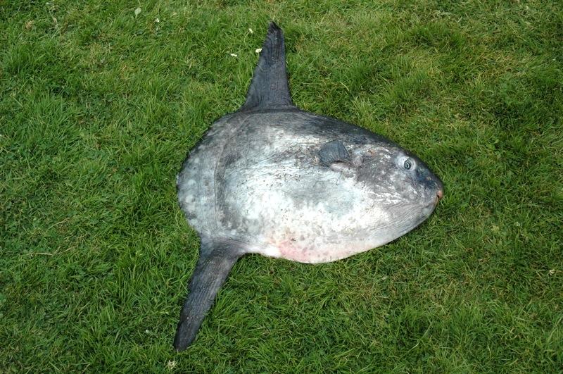 Poisson Lune (Mola Mola)